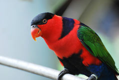 Lory Bird. A photo taken on a colorful lori bird in captivity Royalty Free Stock Photos