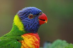 Lori Lorikeet. Lorikeet, Lori lives in pairs that sometimes clump together into flocks. In guarding their nesting territory and the food is extremely aggressive Stock Photography