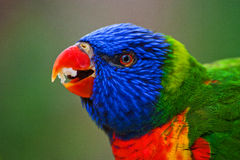 Lori Lorikeet royalty free stock images
