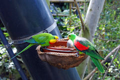 Lori Lorikeet Stock Photo