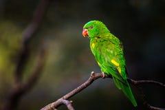 Lori Lorikeet In The Nature Stock Photography