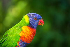 LORI lorikeet Royalty Free Stock Photos