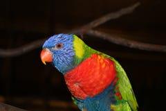 Lori papegoja royaltyfri fotografi