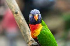 Lori parrot. Papagaai orchideeenhoeve close-up stock photo