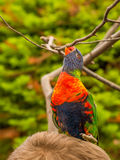 Lori parrot on persons hair Royalty Free Stock Photo