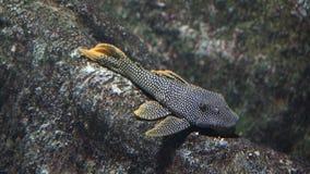 Loricariid鲶鱼清洁棍子 库存照片