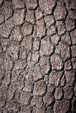 Loricate pine bark Royalty Free Stock Images