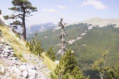 Loricato del pino del paesaggio della montagna di Pollino Immagine Stock
