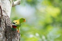 Loriculus för papegoja för papegojafågel Vernal hängande vernalis med s Royaltyfri Foto