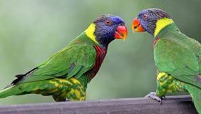 Lories do arco-íris Fotografia de Stock