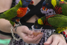Rainbow Lorikeet, (Trichoglossus haematodus) Stock Photos