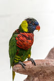 Rainbow Lorikeet, (Trichoglossus haematodus) Stock Photography