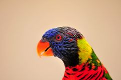 Lorikeet鸟在鸟舍,佛罗里达 免版税库存照片