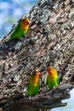 Lorikeet τρία κοντά στη φωλιά Τανζανία, Αφρική Στοκ Εικόνα