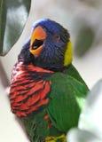 lorikeet птицы стоковые фотографии rf