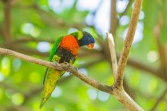 Lorikeet цвета радуги Стоковые Изображения