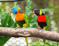 Lorikeet 1 Royalty Free Stock Photography