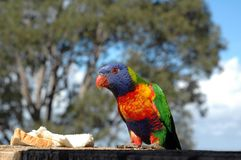 Lorikeet Stock Foto's