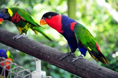 Lorikeet Royalty Free Stock Images