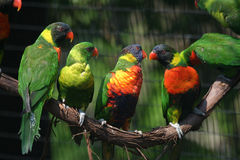 Lorikeet Foto de Stock Royalty Free