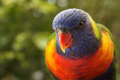 lorikeet Obraz Royalty Free