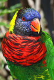 Lorikeet Royalty Free Stock Photos