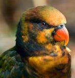鸟lorikeet 库存图片