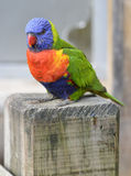 Lorikeet Obrazy Stock