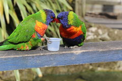 Lorikeet Photographie stock