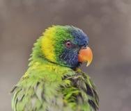 Παπαγάλος (ουράνιο τόξο Lorikeet) Στοκ Εικόνες