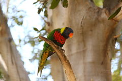 Lorikeet Fotos de Stock Royalty Free