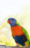 lorikeet Obrazy Royalty Free