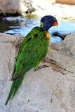Lorikeet Obraz Stock