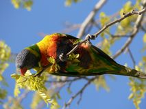Lorikeet affamé Photos stock