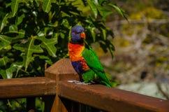 Lorikeet, Australia Fotos de archivo