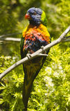 Lorikeet australiano Imagem de Stock Royalty Free