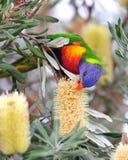 Lorikeet australiano del arco iris en la configuración tropical Imágenes de archivo libres de regalías