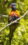 Lorikeet australien Image libre de droits