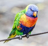 Lorikeet australien coloré d'arc-en-ciel Photo stock