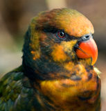 Lorikeet bird Stock Images