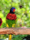 Lorikeet Bird In Aviary Royalty Free Stock Photos