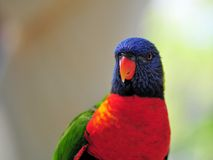 Lorikeet Bird Stock Photography