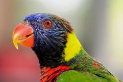 Lorikeet bird closeup Stock Photos