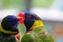 Lorikeet bird holding beak of another Lorikeet Stock Photos