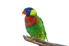 Lorikeet Bird Isolated. A type of parrot called a lorikeet sits on a branch with a white background. This is a bird found in the wild but also kept as a pet Stock Photo