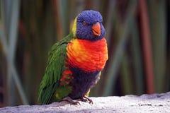 Lorikeet Bird. An Lorikeet Bird on a tree Stock Photo