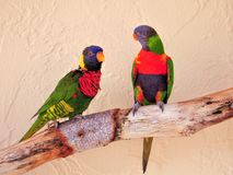 Lorikeet birds on branch Royalty Free Stock Photography