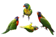 Lorikeet Birds Collage Stock Images