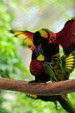 Lorikeet Birds Mating. Two beautiful Lorikeets mating on a tree branch inside an aviary in Butterfly World, South Florida stock photos