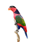 Lorikeet birds Stock Photos